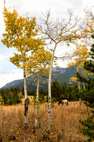 Beautiful-Horse-Autumn-Aspen-Trees-Grove-Grazing