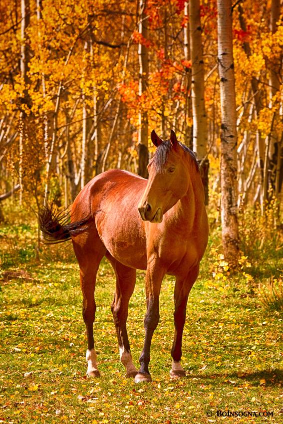 Beautiful Chestnut Horse in the Fall Aspen Colors