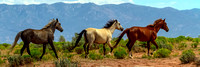 Grey, Whiteand Chestnut Wild Horses Panorama View