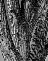 Old Cottonwood Tree Texture Bw