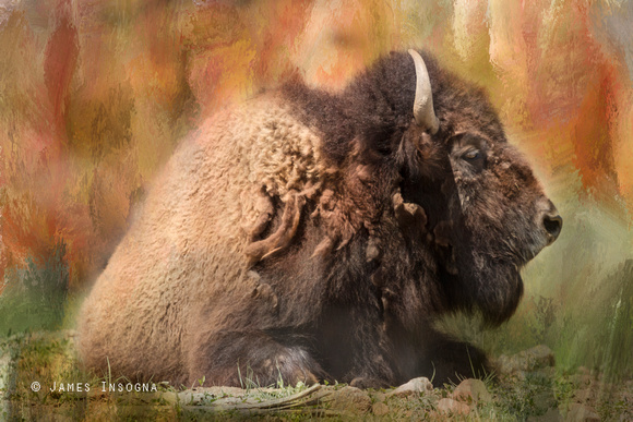 Colorful-Bison