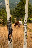 Beautiful-Horse-Through-Aspen-Trees-Portrait