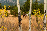 Beautiful-Horse-Through-Aspen-Trees-Trunks