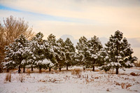 Winter Pine Trees