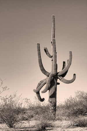 Arizona desert a old giant saguaro cactus with many arms.  Sepia Image.