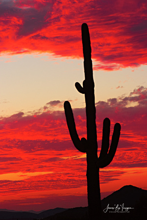 Beautiful sky on fire sunset with a giant saguaro cactus.