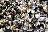 Fresh_Clams