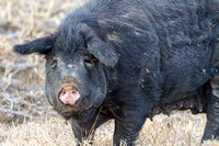 Female Hog 1