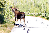 Bull Moose Crossing The Road