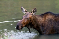 Female_Moose_Head-1